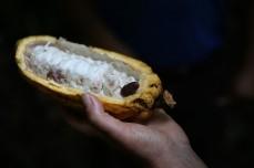 Kakao PN Yasuni, Tiefland, Amazonas,