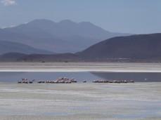 Salar de Ascotan brütende Flamingos